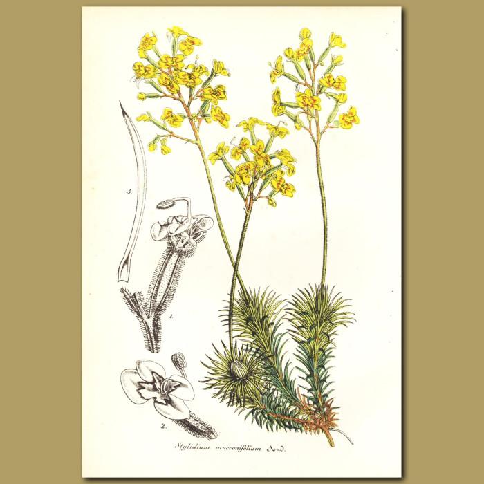 Antique print. Stylidium mucronifolium