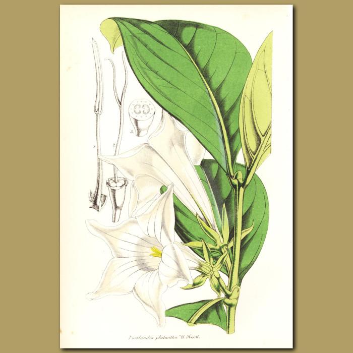 Antique print. White Horse Flower (Portlandia platantha)