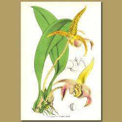 Bulbopyllum Orchid (Sarcopodium lobbii)