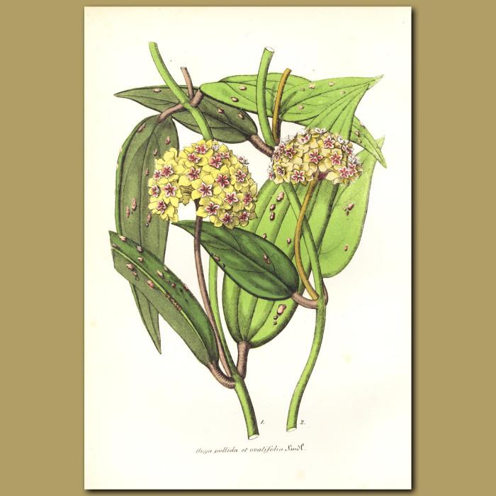 Antique print. Wax Plant (Hoya ovalifolia and pallida)