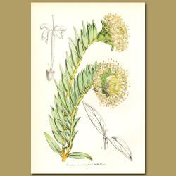 Shrubby Riceflower (Pimelea macrocephala)