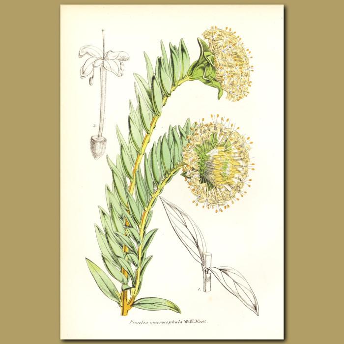 Antique print. Shrubby Riceflower (Pimelea macrocephala)