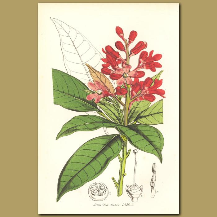 Antique print. Anemone Stinkhorn (Almeida rubra)