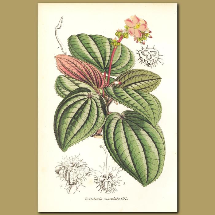 Antique print. Bertolonia maculata