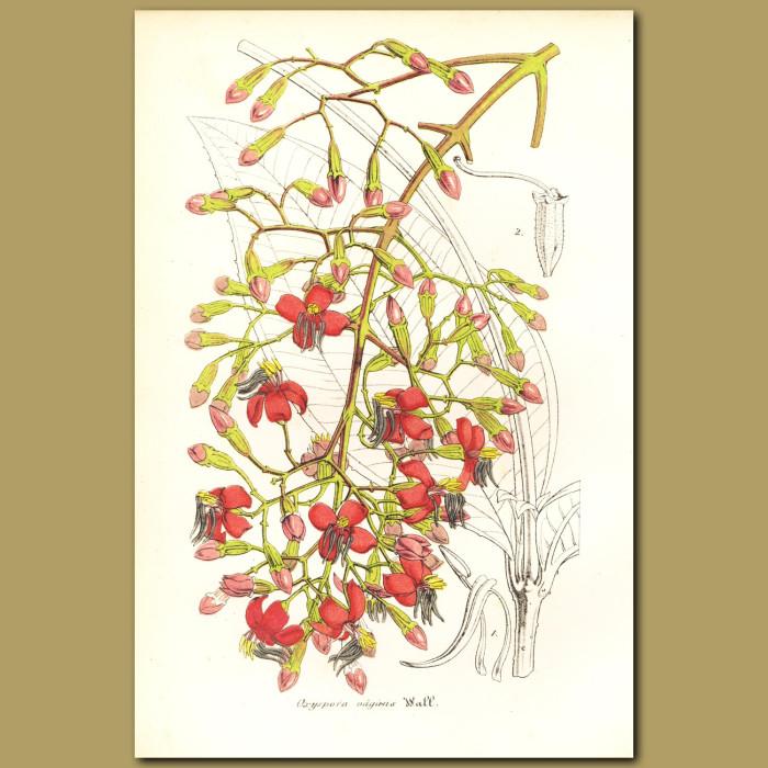 Antique print. Wandering Oxyspora (Oxyspora vagans)