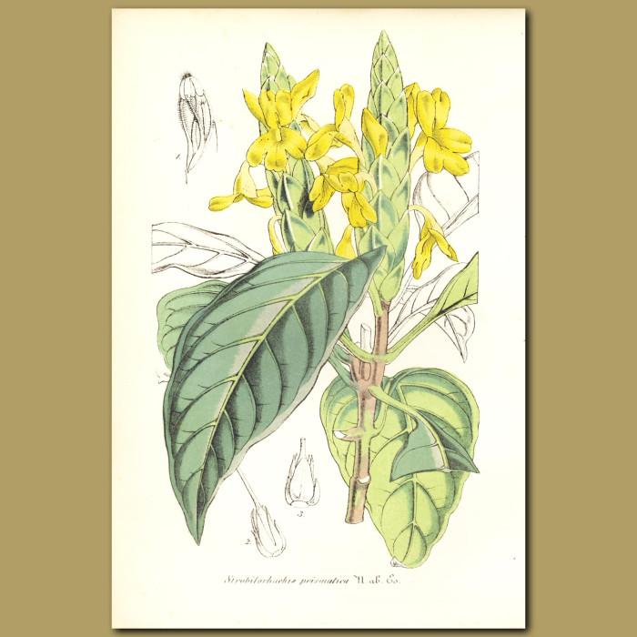 Antique print. Aphelandra (Strobilorhachis prismatica)