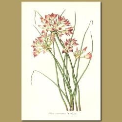 Tapertip Onion (Allium acuminatum)