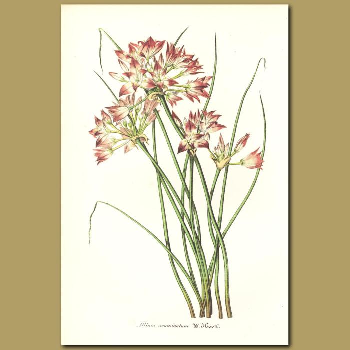 Antique print. Tapertip Onion (Allium acuminatum)