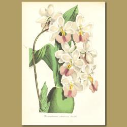 Orchid (Ondontoglossum citrosmum)
