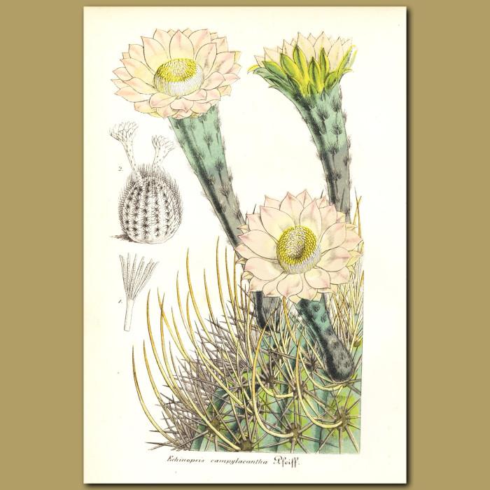 Antique print. Hedgehog Cactus (Echinopsis campylacantha)