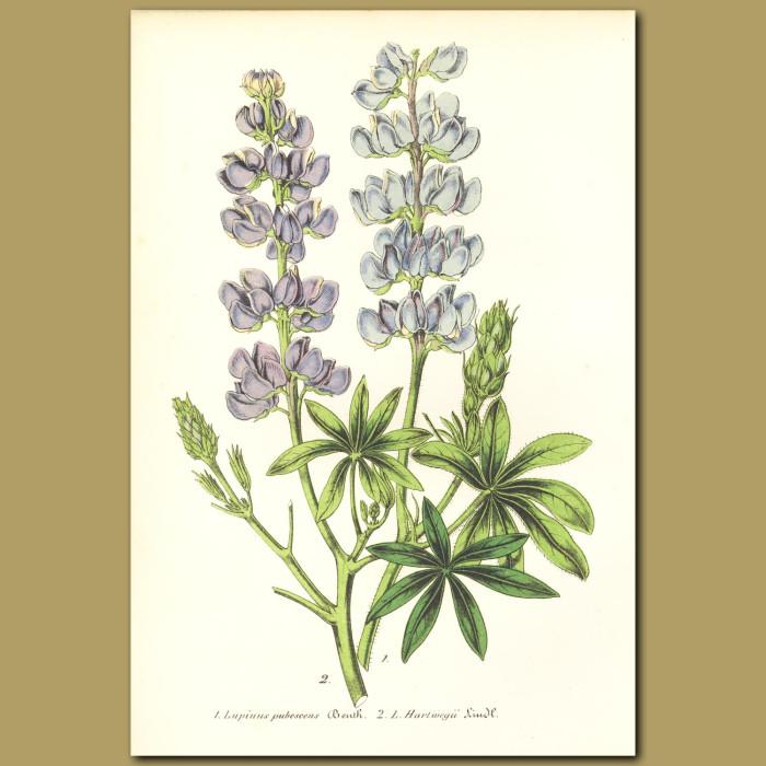 Antique print. Lupins (Lupinus pubescens and Lupinus hartwegii)