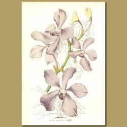 Blue Orchid (Vanda coerulea)