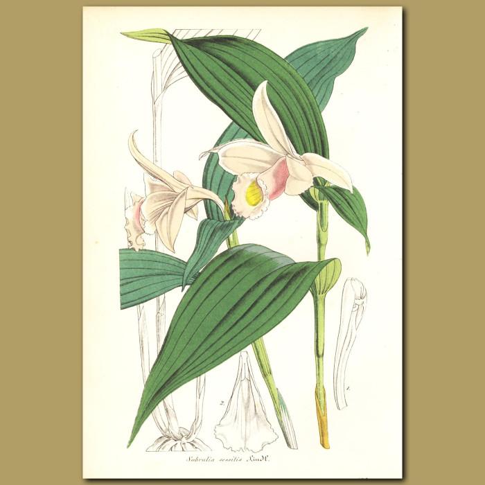 Antique print. Orchid (Sobralia sessilis)