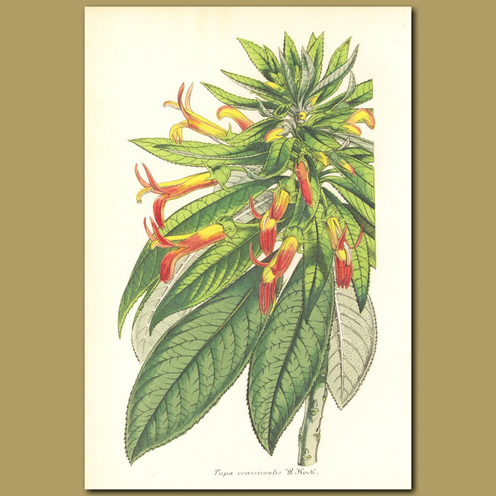 Antique print. Thick-stemmed Tupa (Tupa crassicaulis)