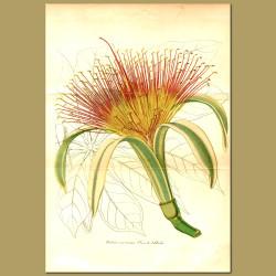 Money Tree (Pachira macrocarpa)