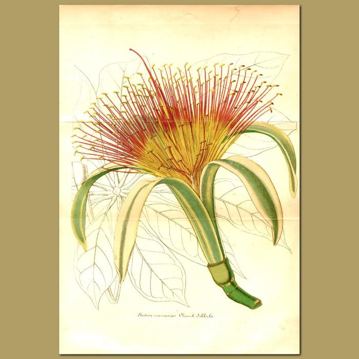 Antique print. Money Tree (Pachira macrocarpa)