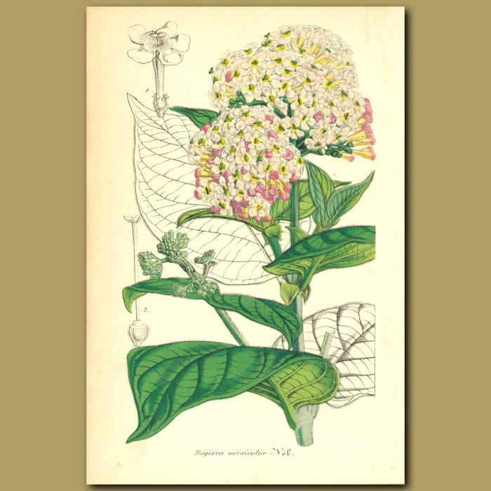 Antique print. Rondeletia amoena (Rogiera versicolor