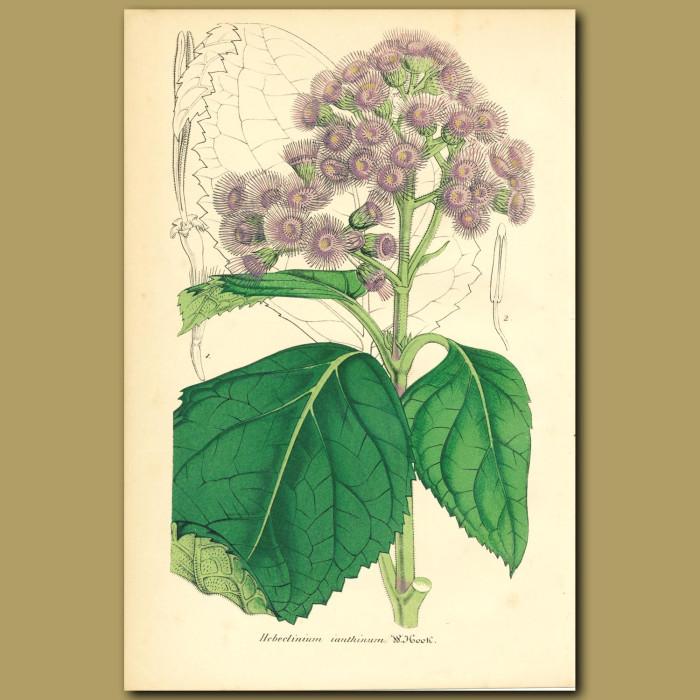 Antique print. Hebeclinium ianthinum