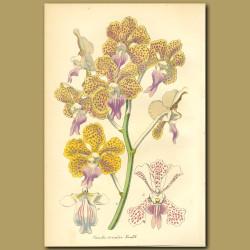 Orchid (Vanda tricolor)