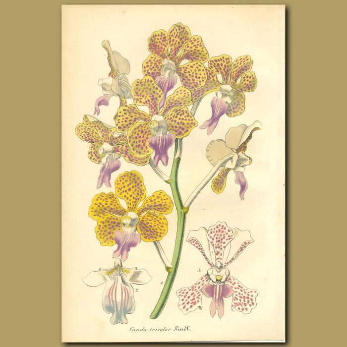 Antique print. Orchid (Vanda tricolor)