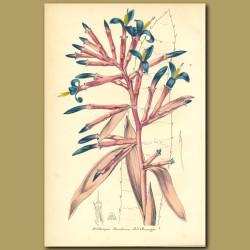 Morel Billbergia Bromeliad (Billbergia morelian)
