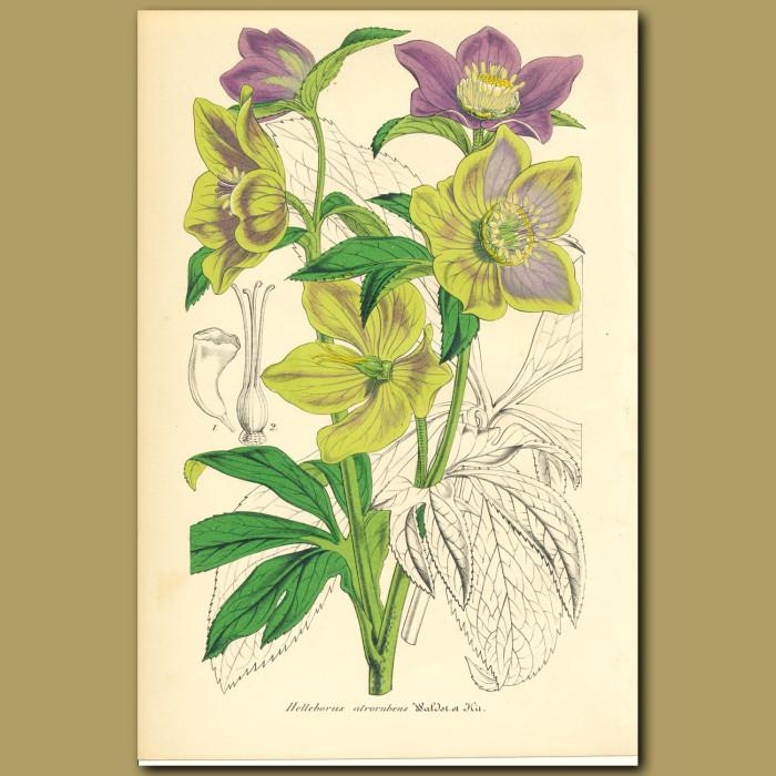 Antique print. Hellebore (Helleborus atroruben)