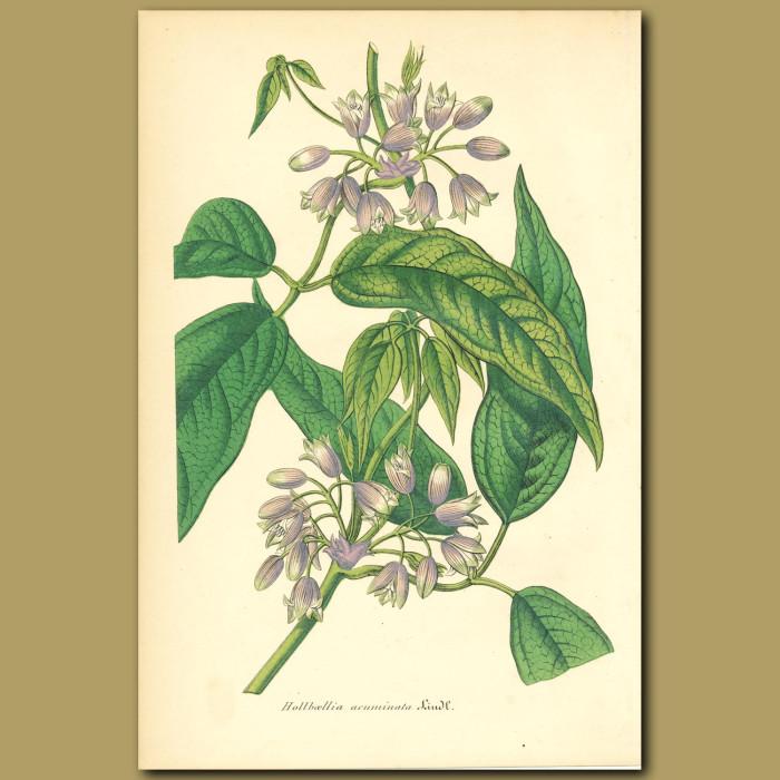 Antique print. Holboellia acuminata