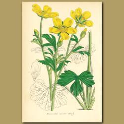 Ranunculus (Ranunculus spicatu)