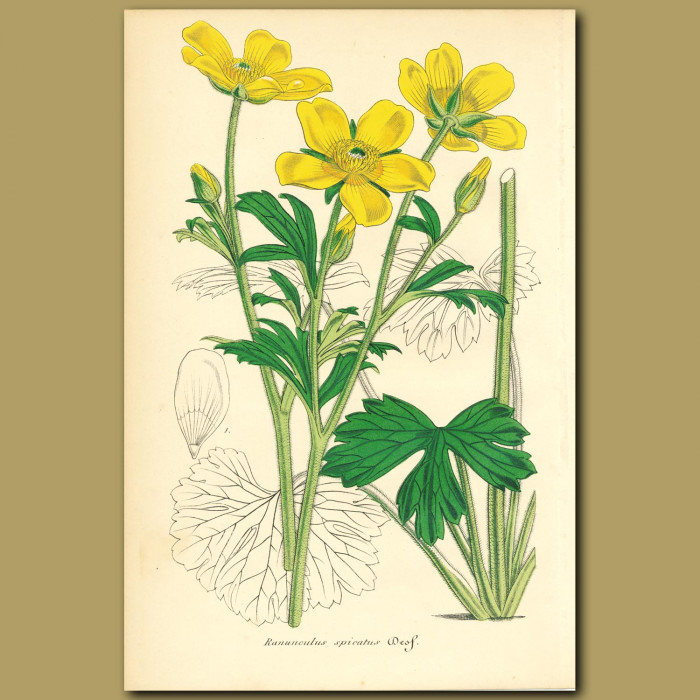 Antique print. Ranunculus (Ranunculus spicatu)