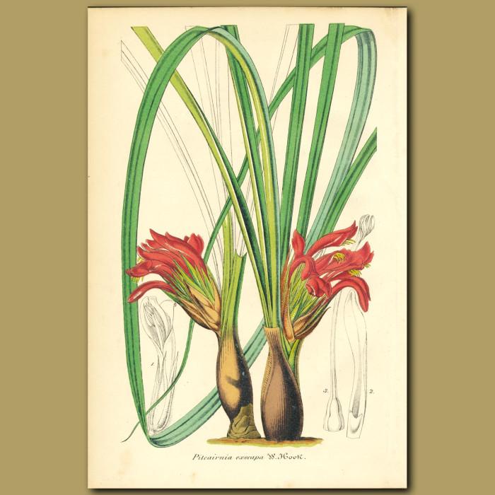 Antique print. Bromeliad (Pitcairnia excap)