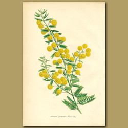 Acacia grandis