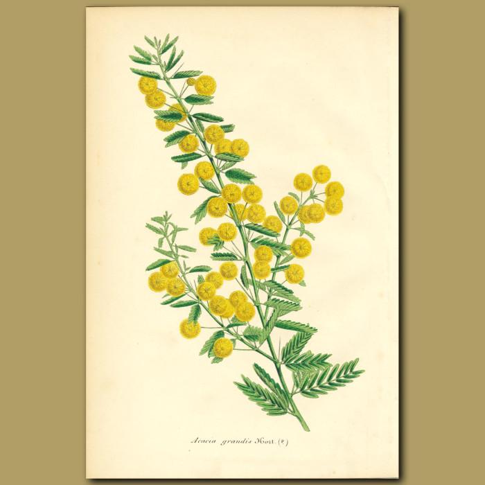 Antique print. Acacia grandis