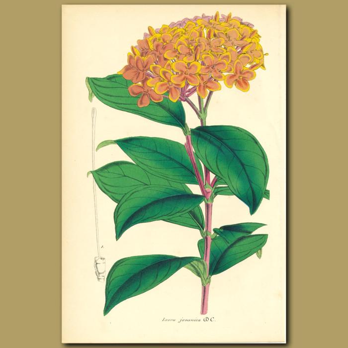 Antique print. Jungle Geranium (Ixora javanic)