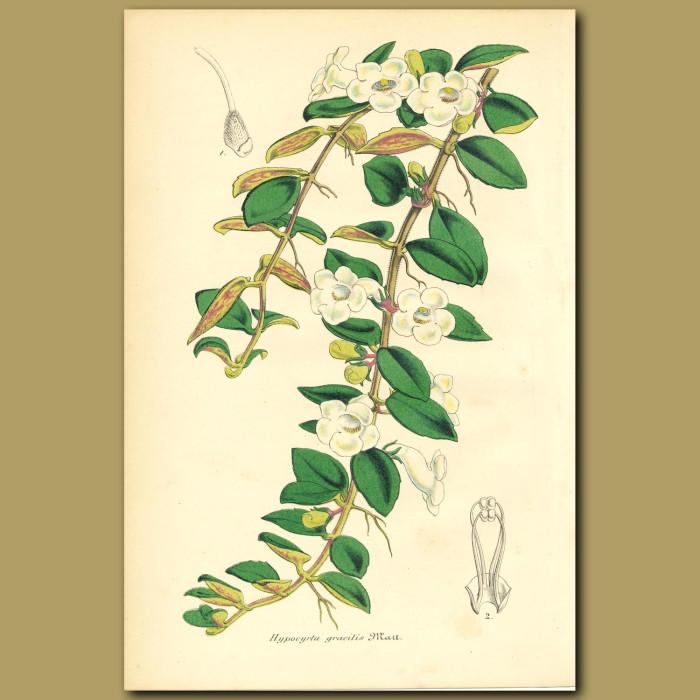 Antique print. Hypocryta gracilis