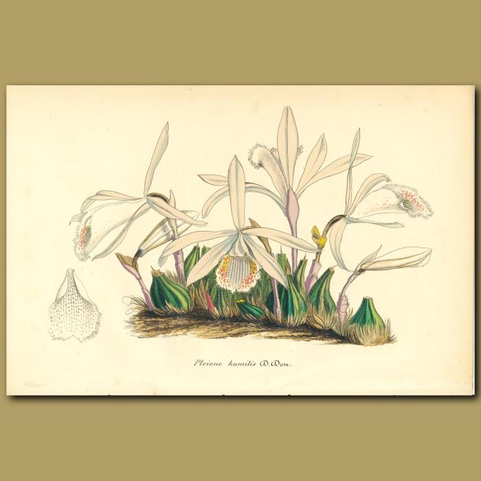 Antique print. Orchid (Pleione humili)