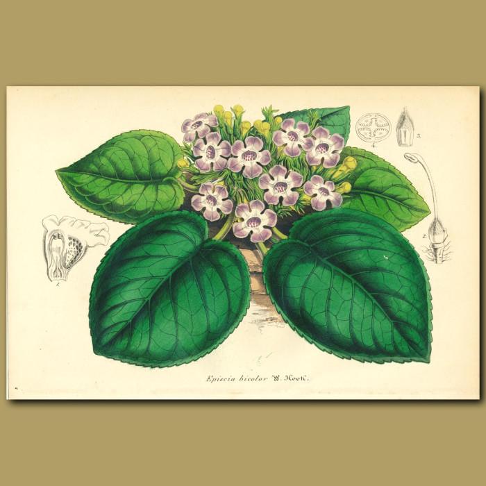 Antique print. Gesneriad (Episcia bicolo)