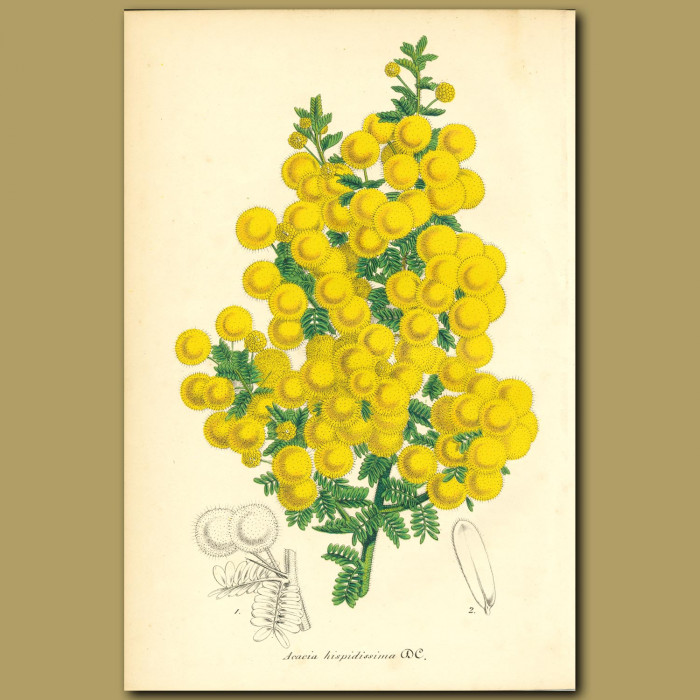 Antique print. Acacia hispidissima