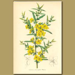 Labichea diversifolia