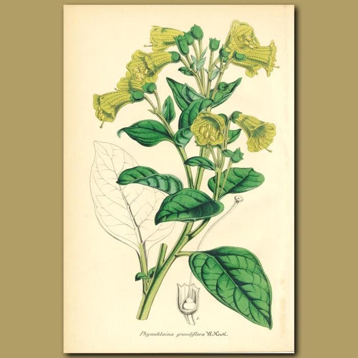 Antique print. Physochlaina grandiflora