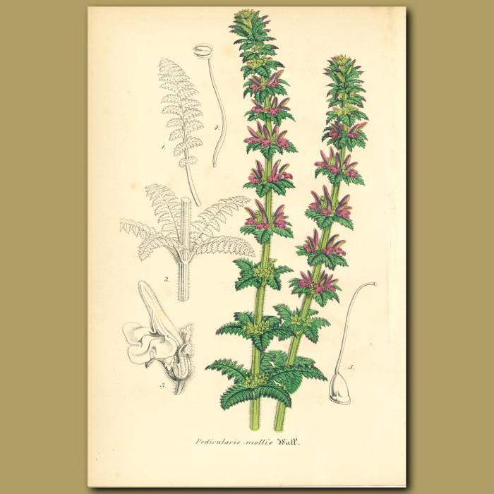 Antique print. Pedicularis mollis