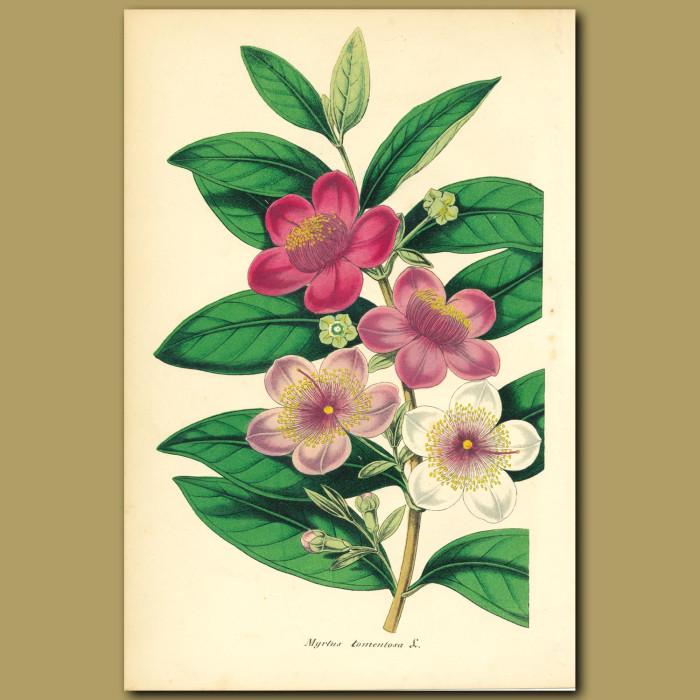 Antique print. Wooly-leaved Myrtle (Myrtus tomentos)
