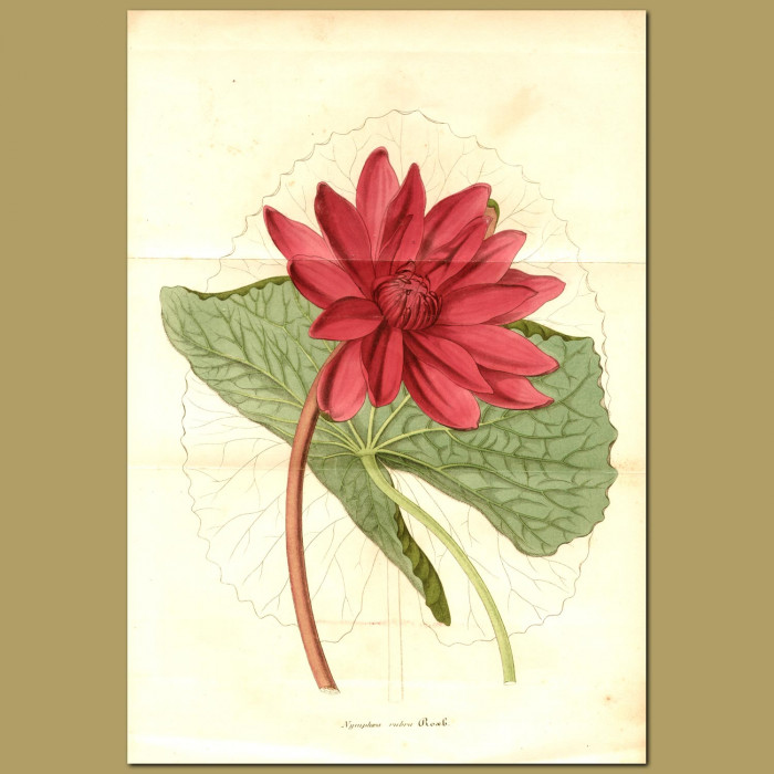 Antique print. Red Indian Water Lily (Nymphaea rubr)