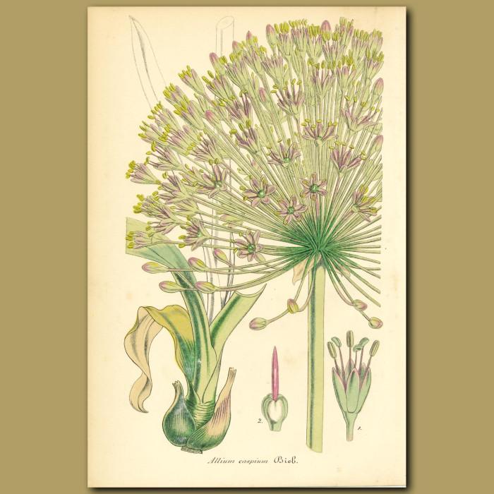 Antique print. Garlic (Allium caspiu)