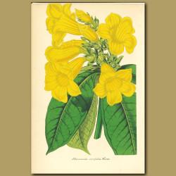 Golden Bell (Allamanda neriifoli)