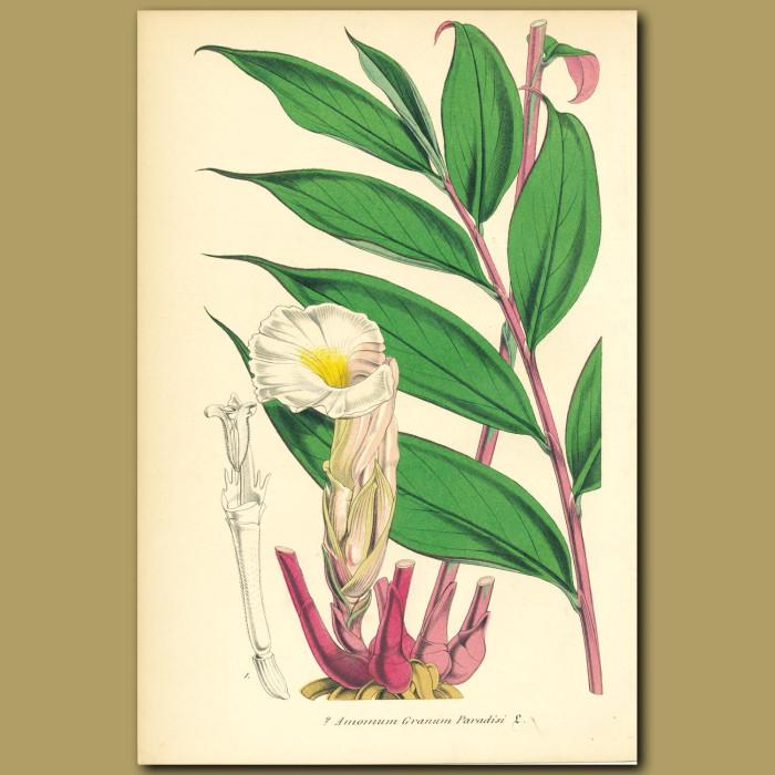 Antique print. Malagueta Pepper (Amomum grana paradis)