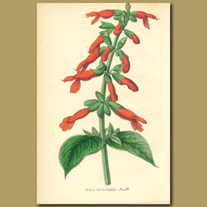 Antique print. Big Mexican Scarlet Sage (Salvia gesneriaeflor)