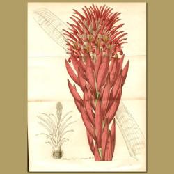 Bromeliad (Billbergia splendid)