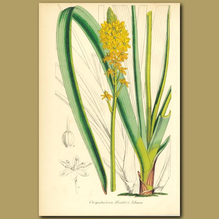Antique print. Maori Onion (Chrysobactron hooker)