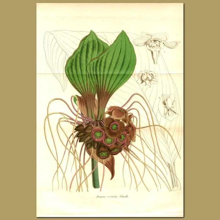 Antique print. Black Lily (Atacca cristata