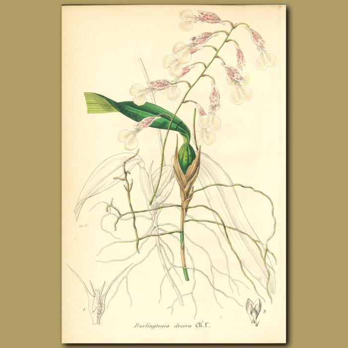 Antique print. Fragrant Orchid (Burlingtonia decora)